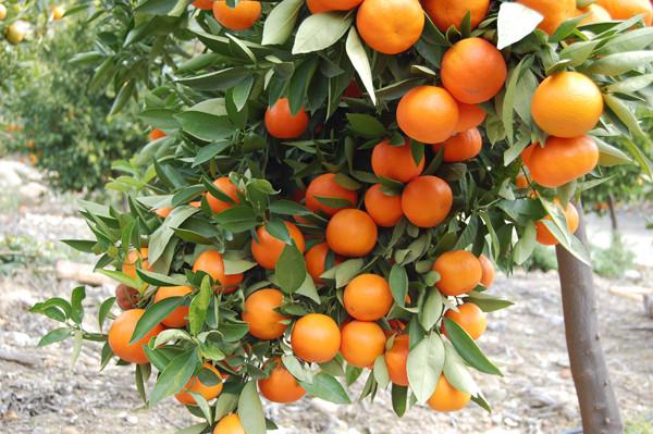 Действие аромата мандарин