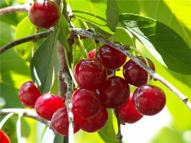 Аромат вишни
