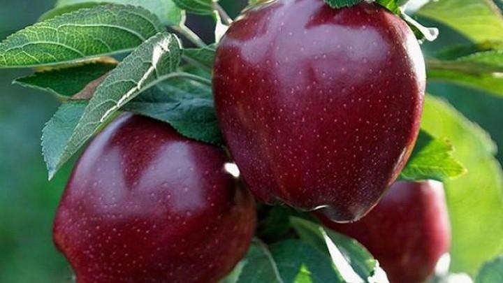 """Саженцы яблони """"Черный принц"""""""