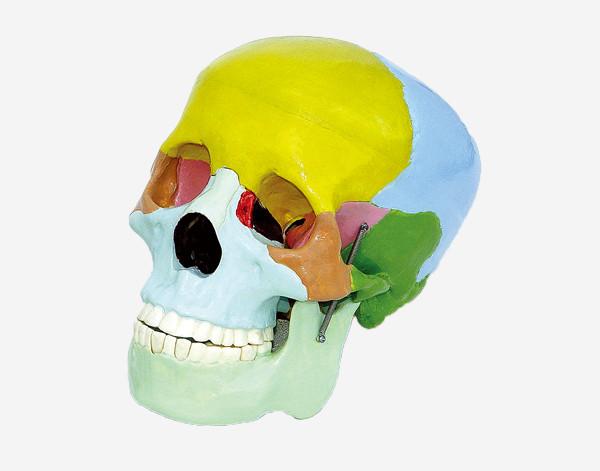 Модель Черепа людини з розфарбованими кістками (розбірний)