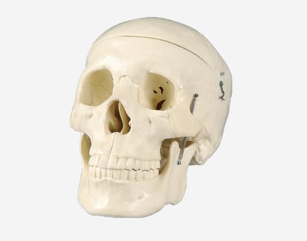 Модель Череп людини  (розбірний)