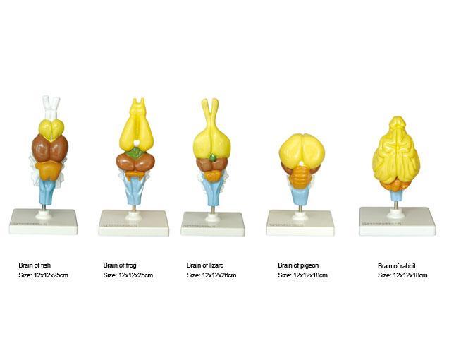 Модель Мозок хребетних тварин