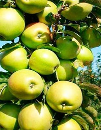 "Саженцы колоновидной яблони ""Малюха"""