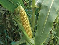 Кукуруза 3517 F1 Lark seeds 25 000 семян