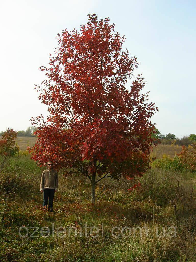 Дуб красный/ Quercus rubra 3,0-3,5 м