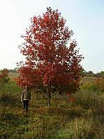 Дуб красный/ Quercus rubra 3,0-3,5 м, фото 1