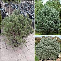 """Сосна обыкновенная (Pinus sylvestris) """"Watereri"""" / Н70×110 / контейнер"""