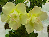 "АДЕНИУМ - РОЗА ПУСТЫНИ ""YellowSky"" (ADENIUM OBESUM DESERT ROSE ""YellowSky"")"
