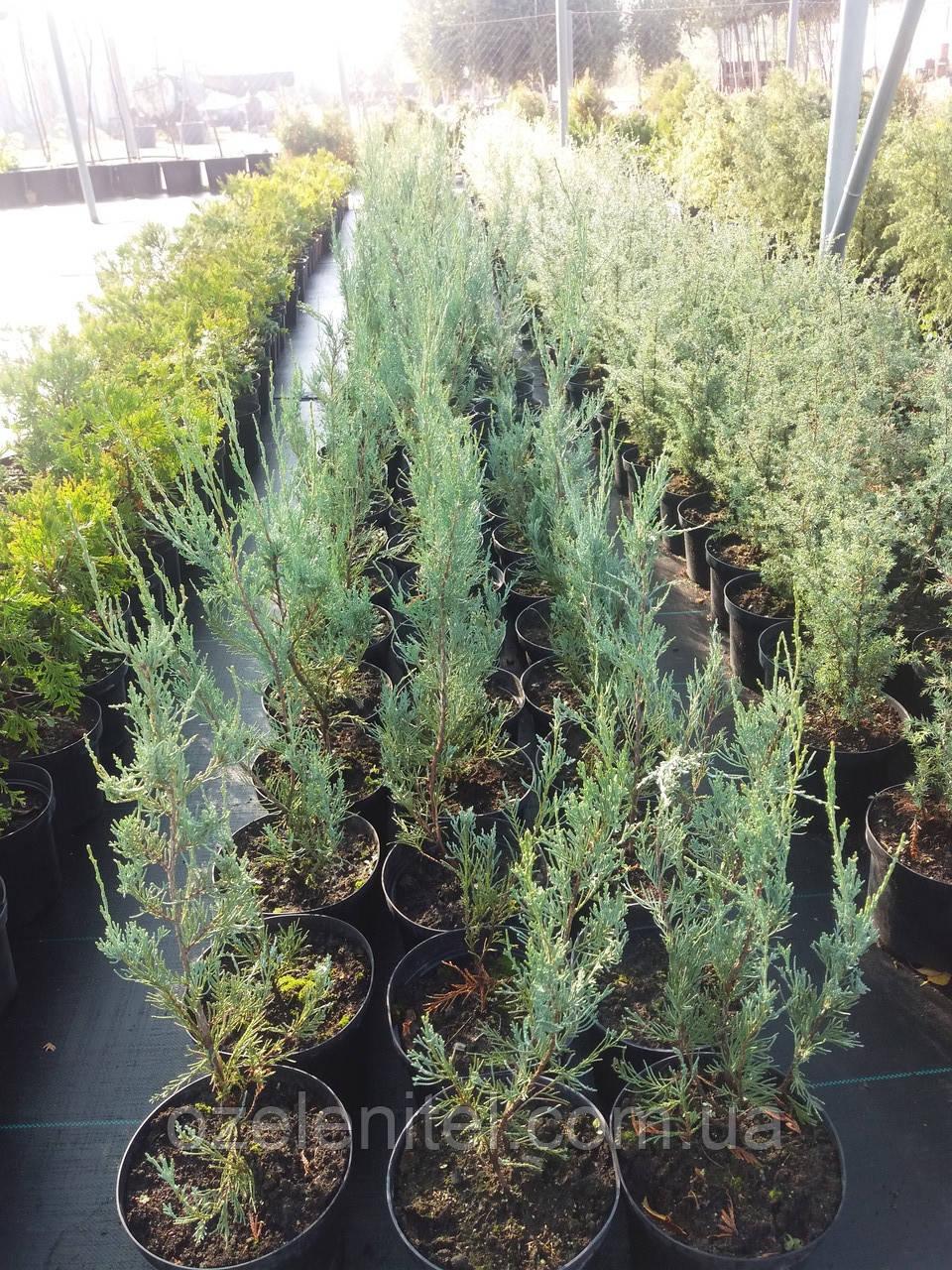 Можжевельник скальный 'Скайрокет'/ Juniperus scopulorum 'Skyrocket' / Ялівець скельний 'Скайрокет''