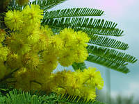 АКАЦИЯ СЕРЕБРИСТАЯ или МИМОЗА (Acacia dealbata)