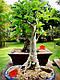 БАОБАБ (Adansonia digitata), фото 4