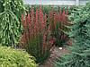 Барбарис Тунберга Red Pillar 3 річний, Барбарис Тунберга Ред Пиллар, Berberis thunbergii Red Pillar, фото 2