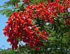 Делоникс Королевский семена, фото 5