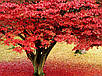 Семена Красный Клен, фото 4