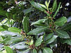 Лавр Благородный семена, фото 3