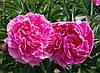 Пион травянистый Lady Kate