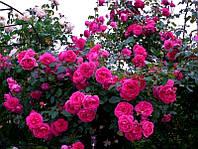 Роза плетистая Parad