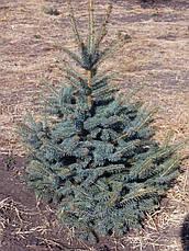 Ель колючая 'Glauca Extra' в контейнере,.Picea pungens 'Glauca Extra'. Высота 1.2-1,5 метр., фото 2