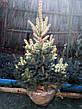 Ель колючая 'Glauca Extra' в контейнере,.Picea pungens 'Glauca Extra'. Высота 1.2-1,5 метр., фото 4