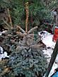Ель колючая 'Glauca Extra' в контейнере,.Picea pungens 'Glauca Extra'. Высота 1.2-1,5 метр., фото 5