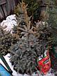 Ель колючая 'Glauca Extra' в контейнере,.Picea pungens 'Glauca Extra'. Высота 1.2-1,5 метр., фото 6