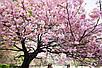 Семена Сакура, фото 4
