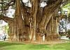 СВЯЩЕННЫЙ ФИКУС - ДЕРЕВО БОДХИ (Ficus religiosa), фото 3