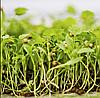 КИНЗА Микрозелень, семена зерна кориандра органические для проращивания 50 грамм
