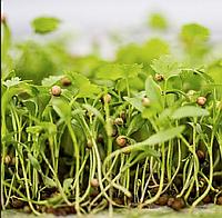 КИНЗА Микрозелень, семена зерна кориандра органические для проращивания 50 грамм, фото 1