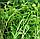 КИНЗА Микрозелень, семена зерна кориандра органические для проращивания 50 грамм, фото 2