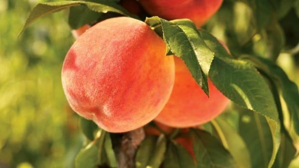 Саженцы персика Т5