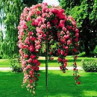 Роза штамбова рожева