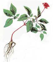 Целебный корень женьшень для волос