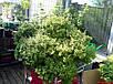 Семена Туласи - Священный Базилик, фото 3