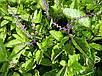 Семена Туласи - Священный Базилик, фото 4