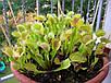 ВЕНЕРИНА МУХОЛОВКА (Dionaea muscipula) , фото 2
