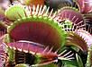 ВЕНЕРИНА МУХОЛОВКА (Dionaea muscipula) , фото 3