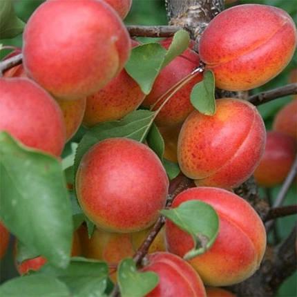 "Саженцы абрикоса ""Цунами"", фото 2"
