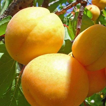 "Саженцы абрикоса ""Супериор"", фото 2"
