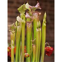 САРРАЦЕНИЯ БЕЛОЛИСТНАЯ   (Sarracenia leucophylla)