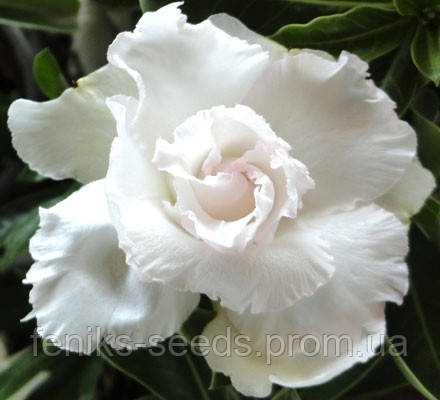 Семена Адениум Белый