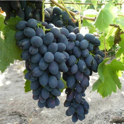 "Саженцы винограда ""Молдова"", фото 2"