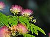 Альбиция Шелковая семена, фото 3
