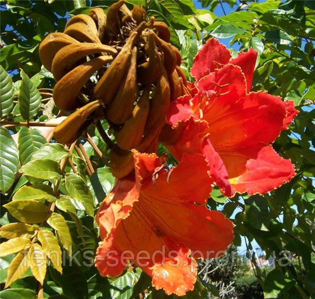 Семена Спатодея - Африканское Тюльпанное дерево