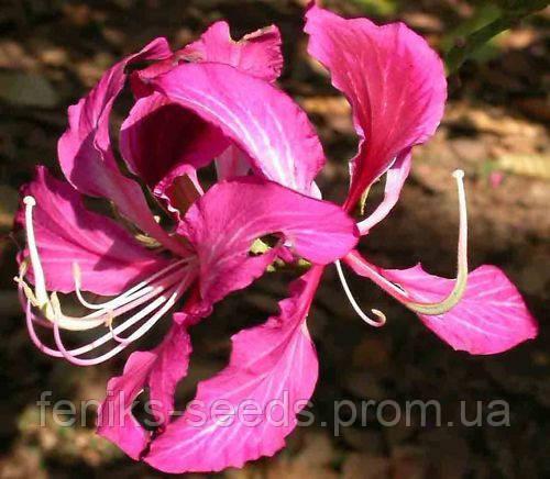 Баухиния пурпурная семена