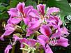 Баухиния пурпурная семена, фото 2
