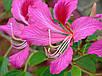 Баухиния пурпурная семена, фото 4