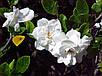 ГАРДЕНИЯ jasminoides, фото 3