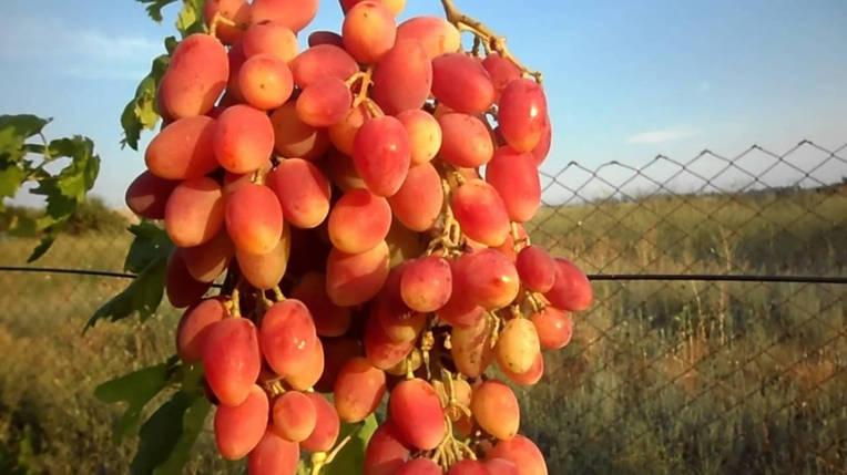 "Саженцы винограда ""Ксения"", фото 2"