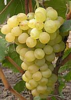 Саджанці винограду ЗАХВАТ МУСКАТНИЙ раннього терміну созренвания